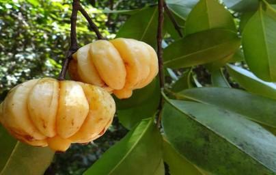 Garcinija (Garcinia Cambogia)