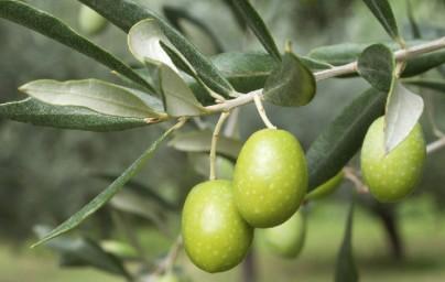 Masline (Olea europaea)