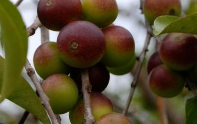 Camu-camu (Myrciaria dubia)